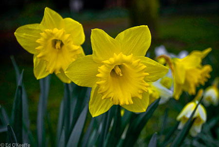 Daffodil Plant Information | Narcissus Flower Facts ...