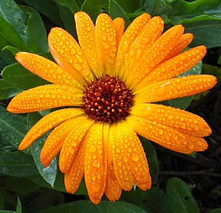 Calendula flower facts and meaning october birth flower for Flor definition