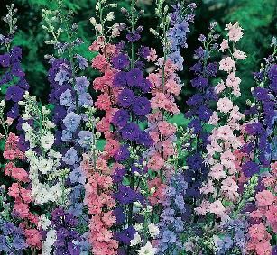 Larkspur Flower Facts And Meaning July Birth Flower Delphinium Plants Information